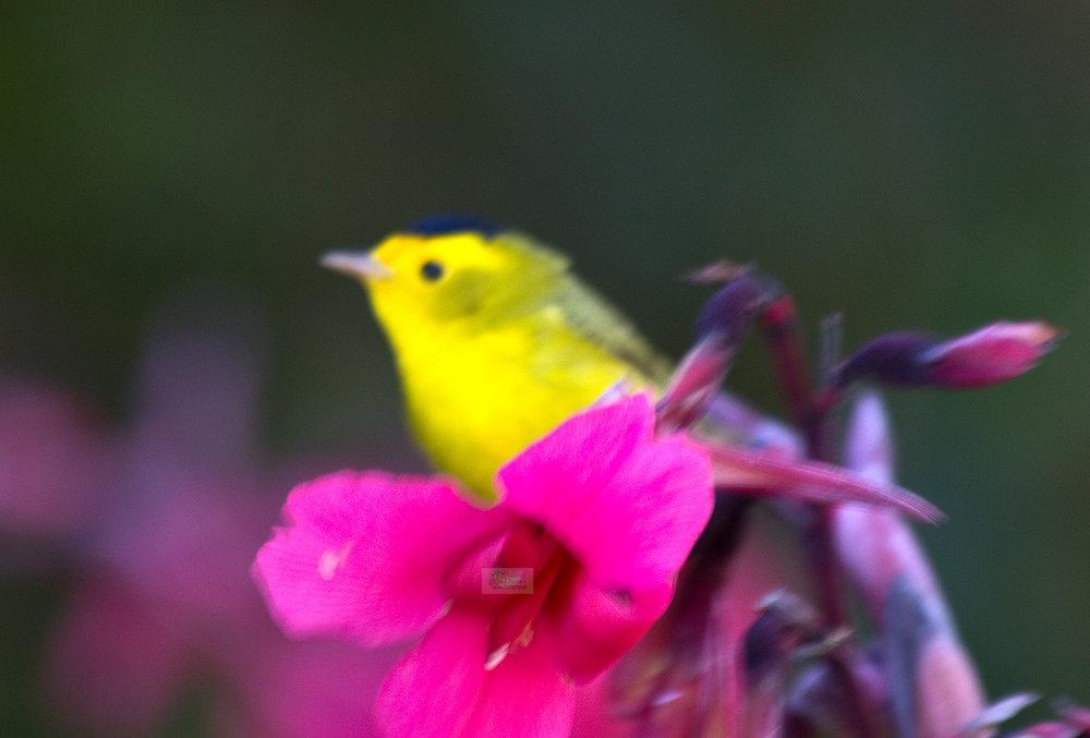 little yellow bird.jpg