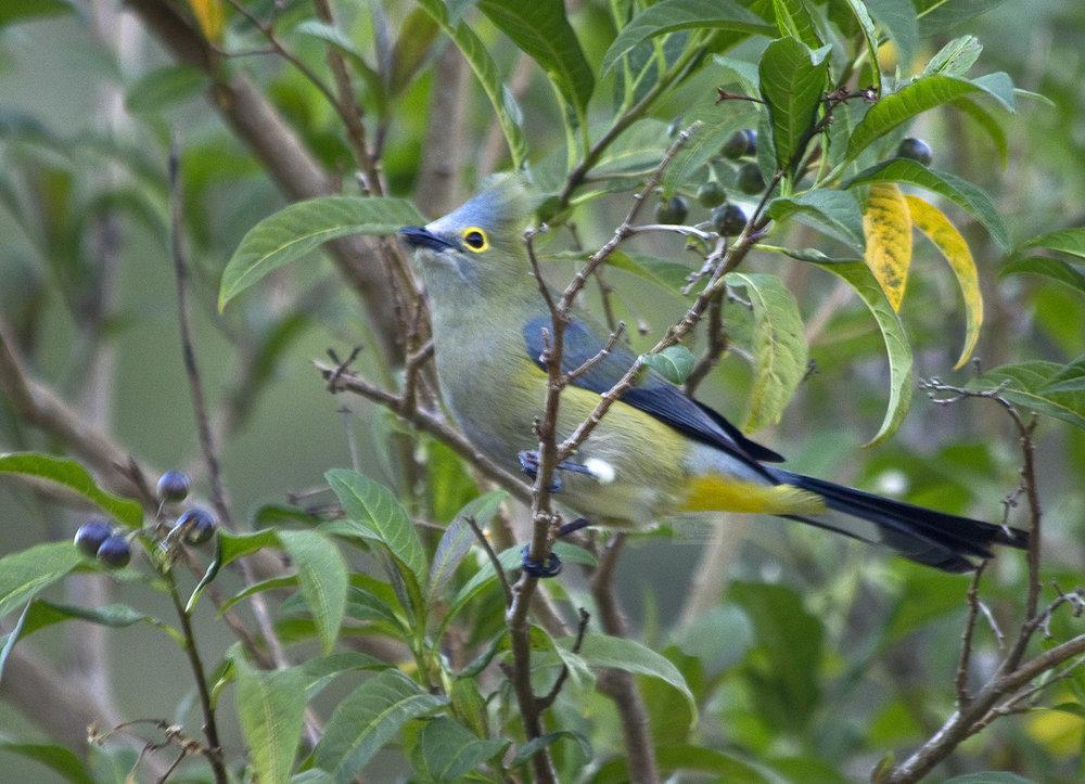 blue and yellow bird.jpg
