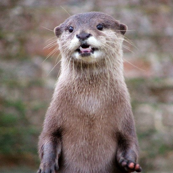 Otter_Standing_Showing_Teeth_600.jpg