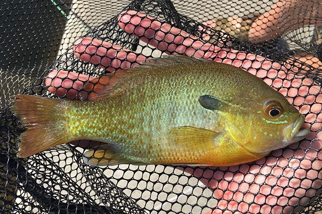 I have some big plans this summer to do more pan fishing with the fly rod and I can't wait. What's your favorite non-trout species to fish for? . . . . . . #flyfishing #fishing #sunfish #onthefly #catchandrelease #summer #bass #pike #carp #carpfishing #bassfishing #angler