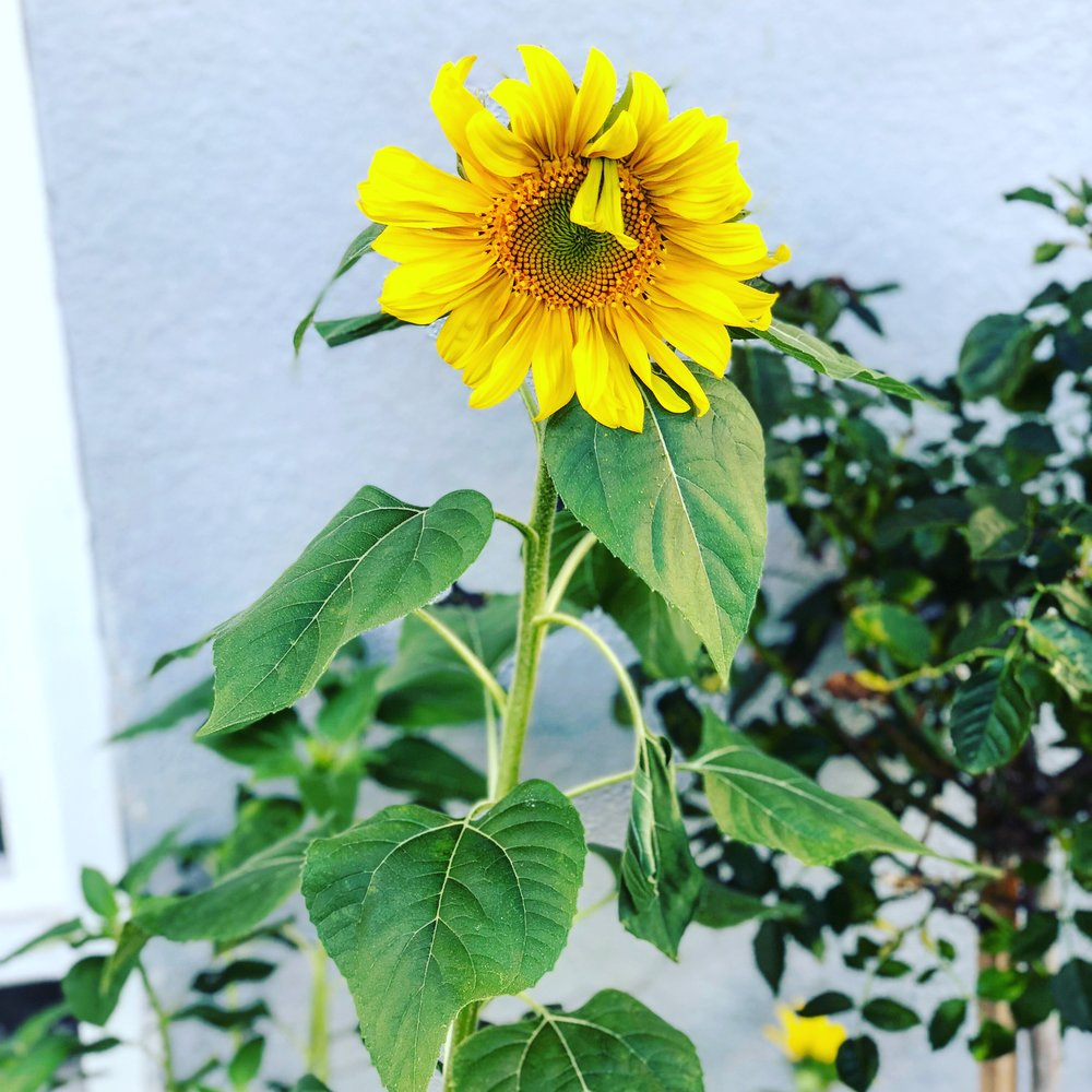 blooming sunflower.JPG