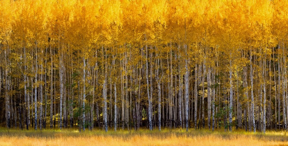 ASPEN VISTA, Orotone (gold leaf) and Silverstone (silver leaf), liquid gloss on board and brace, Handmade  46 x 24 in. edition of 7 + 3 AP  36 x 70 in. edition of 7 + 3 AP