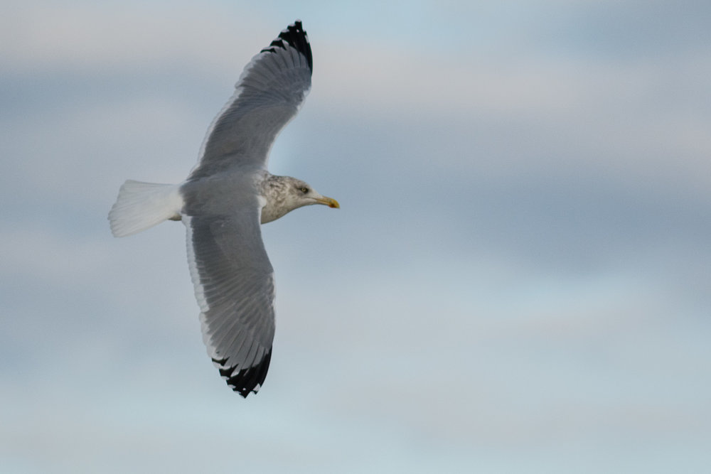 A Seagull in flight  Joseph Ryder