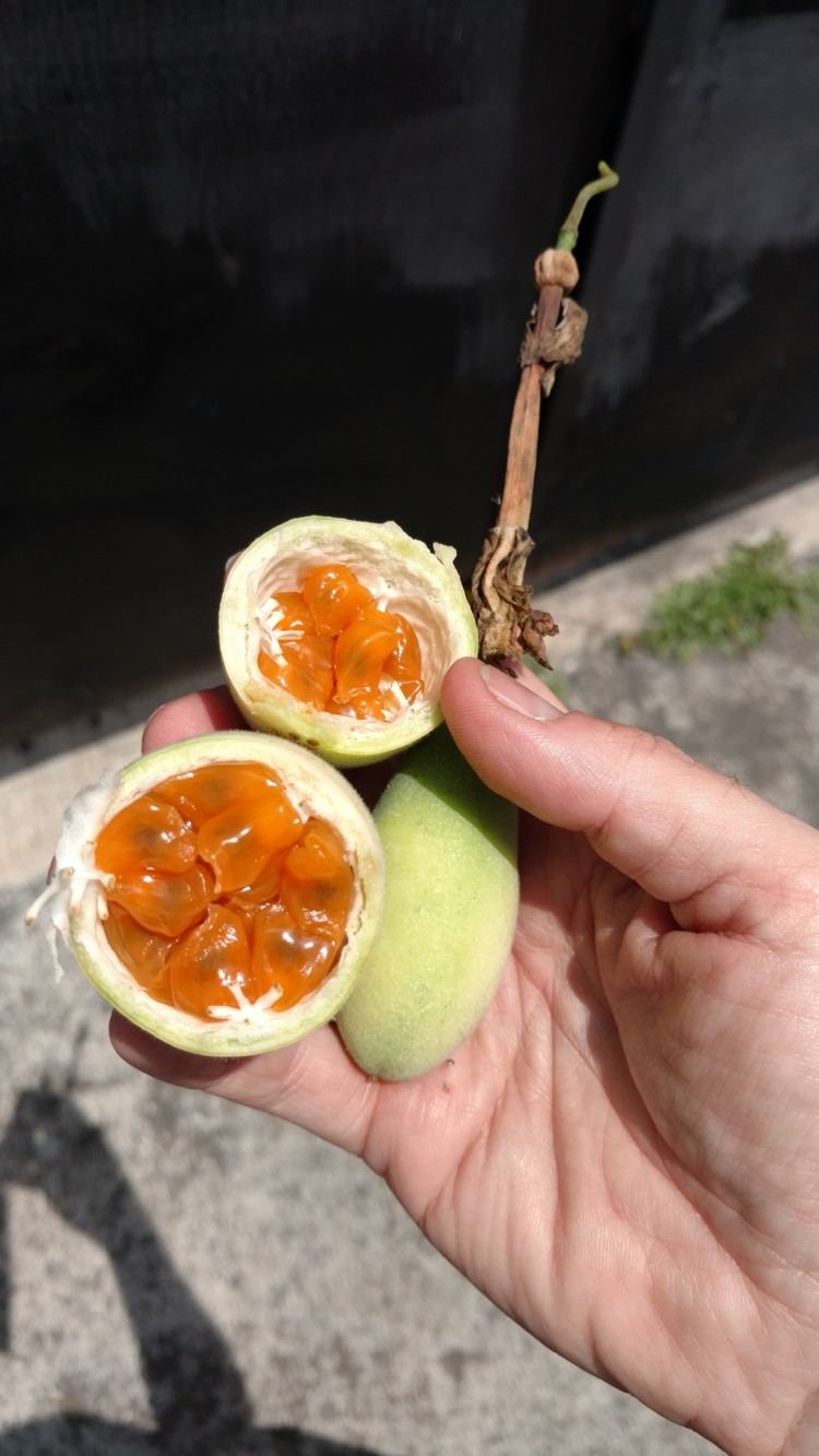 Taxo is a tangy fruit!