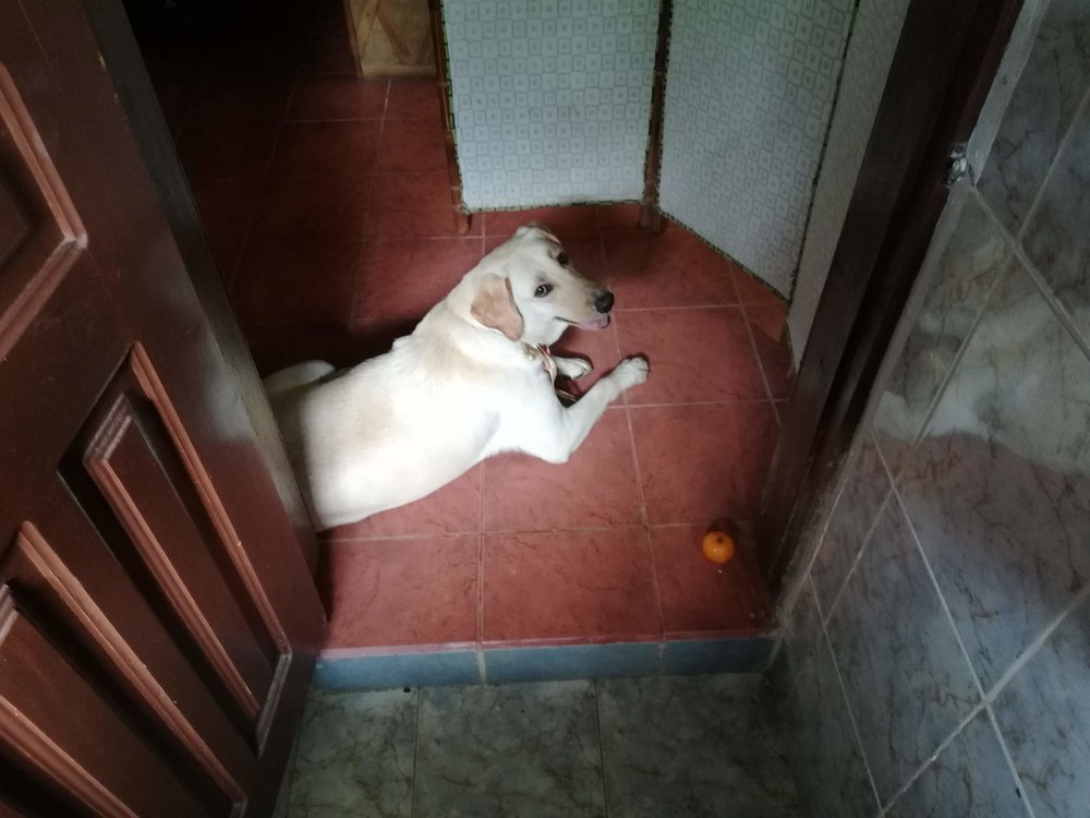 She wants you to throw limes for her to fetch. She'll jump up and tear one off a tree. Here, I was coming out of the bathroom and she was waiting with her orange.