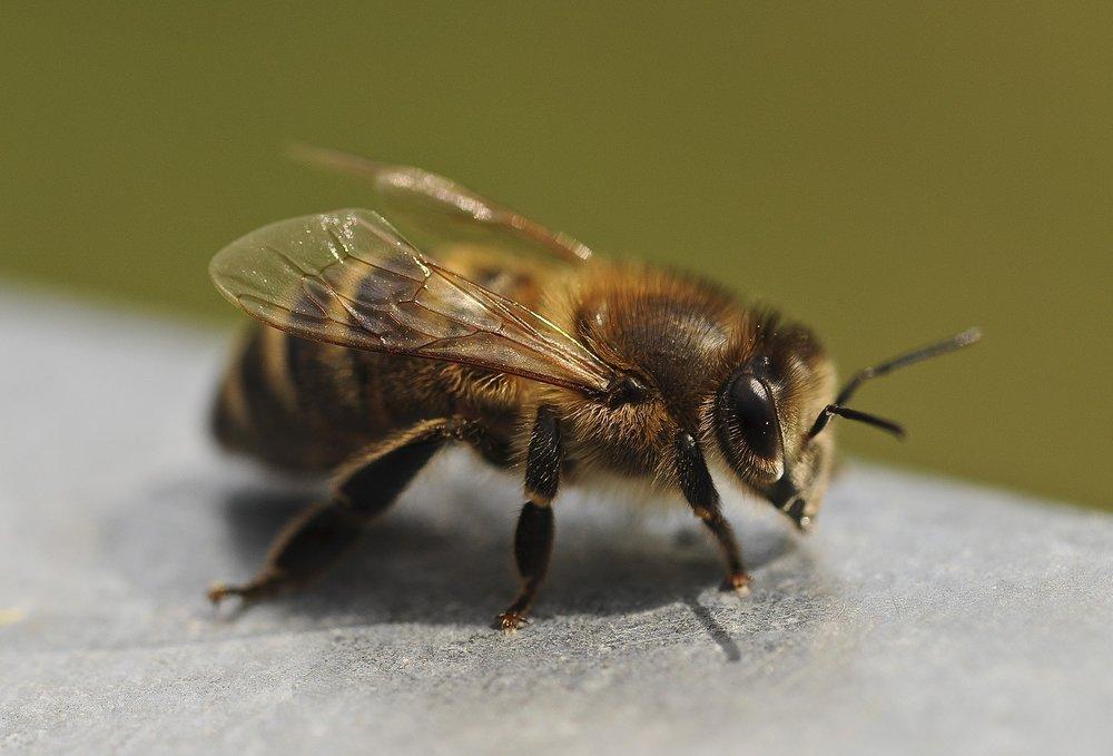 Bees - Junkies