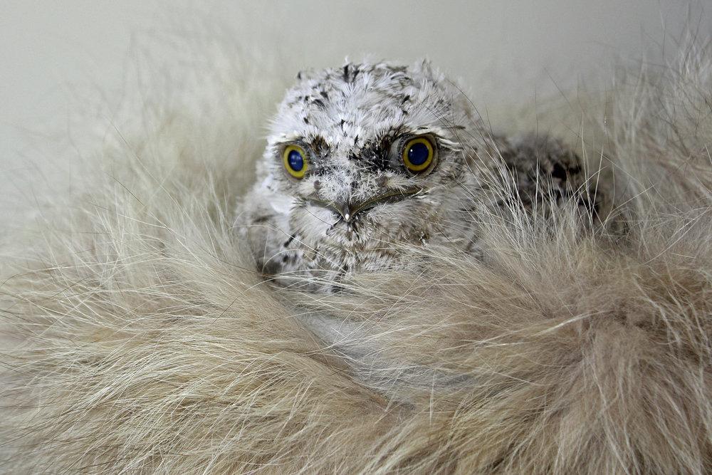 Snow Tawny Frogmouth Judi Gray Wildlife Qld Toowoomba. jpg.jpg
