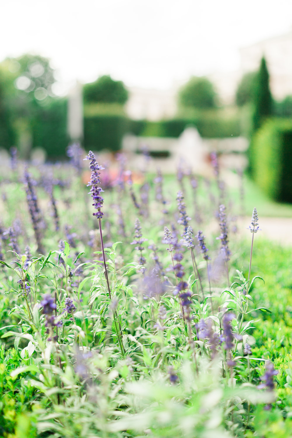 Lavender in Volksgarten Hofburg Vienna Austria by Film photographer Michelle Mock