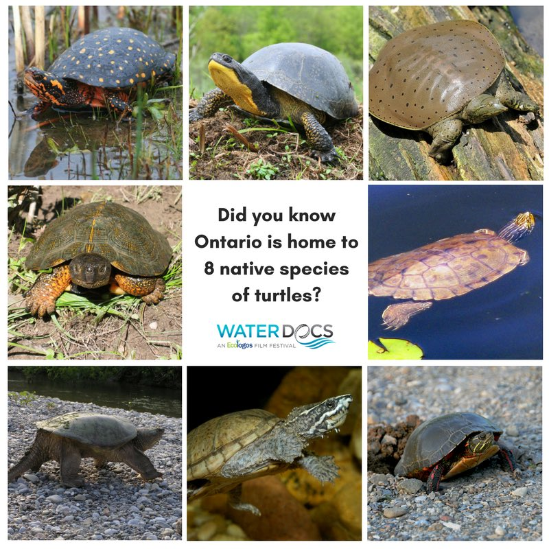 Ontario's 8 Native Turtle Species: Spotted Turtle (endangered), Blandings Turtle (endangered), Eastern Spiny Soft-shell (endangered), Wood Turtle (threatened), Eastern Musk Turtle (special concern), Snapping Turtle (special concern), Northern Map Turtle (special concern), Painted Turtle (special concern - federally)