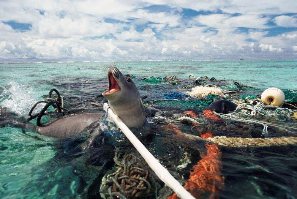 Seal caught in plastic ocean pollution.jpg