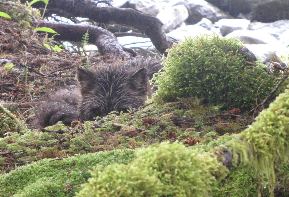 A wet fox hiding on Afognak Island