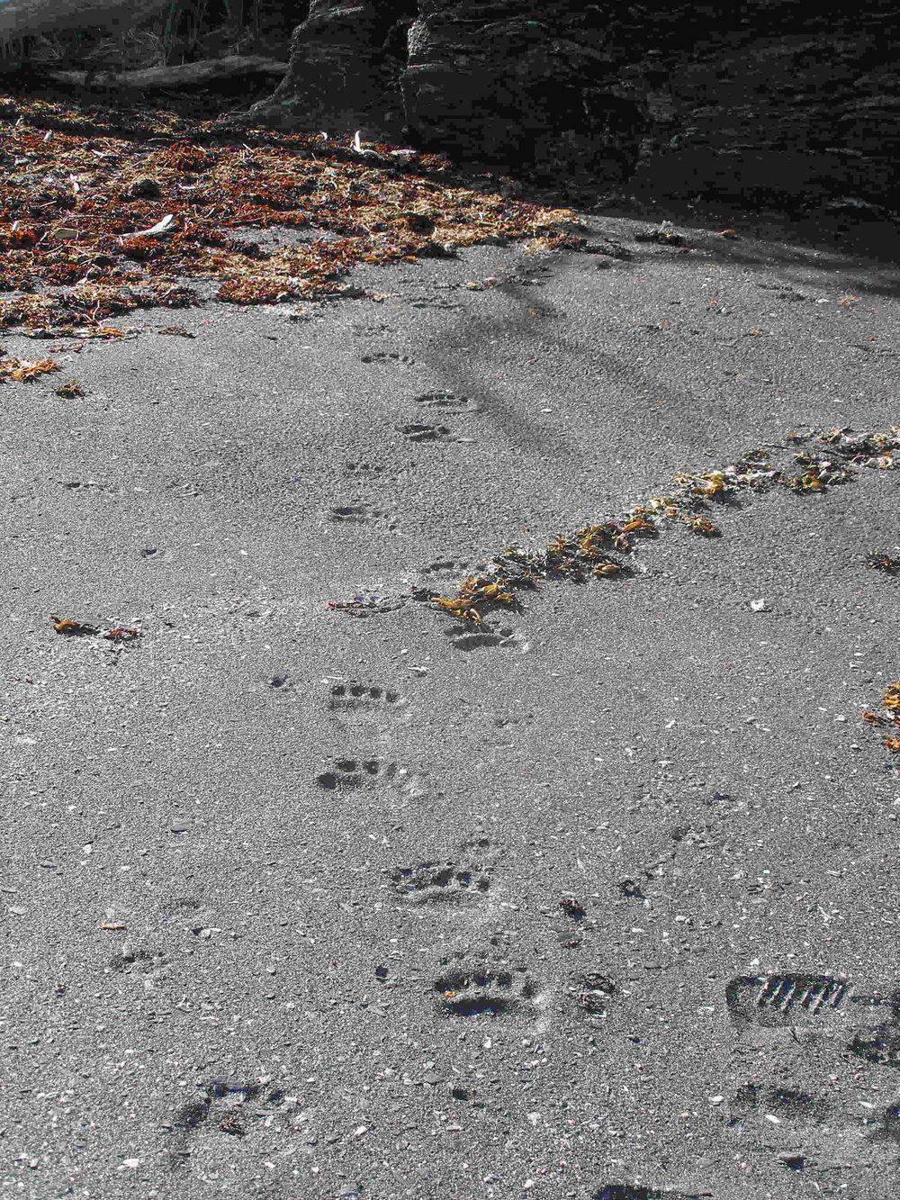 Kodiak brown bear tracks on the beach