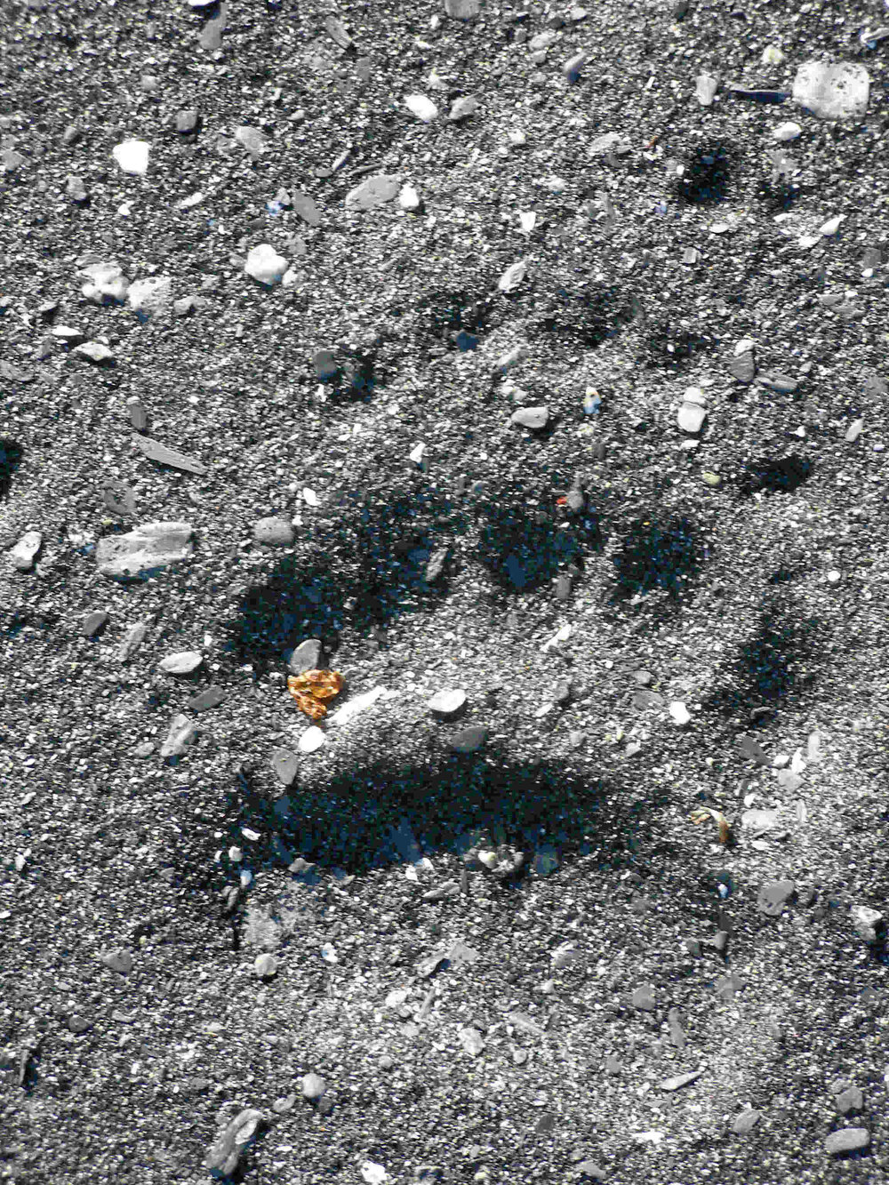 Kodiak brown bear foot print