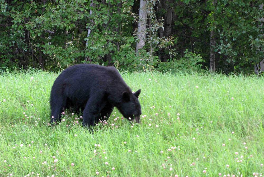 black bear enjoying a flowery lunch