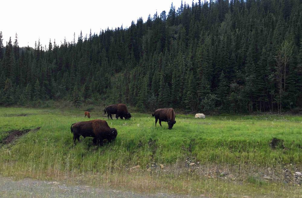 buffalo roaming the BC roadside
