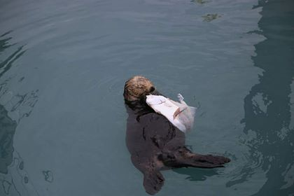 sea otter in harbor, © Julie Crites