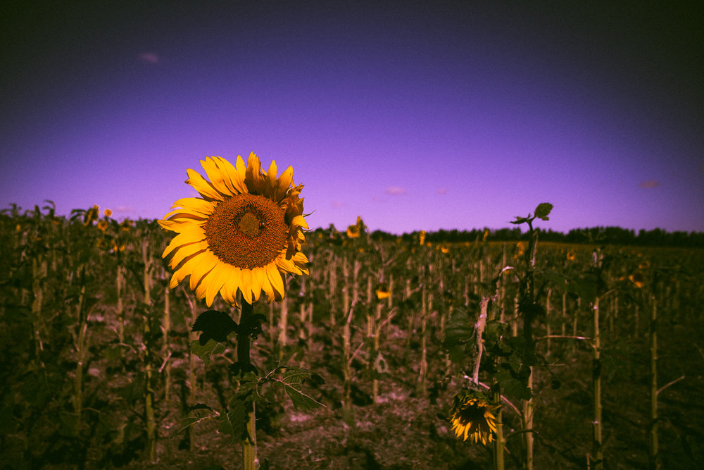 dying_sunflowers_in_august.jpg