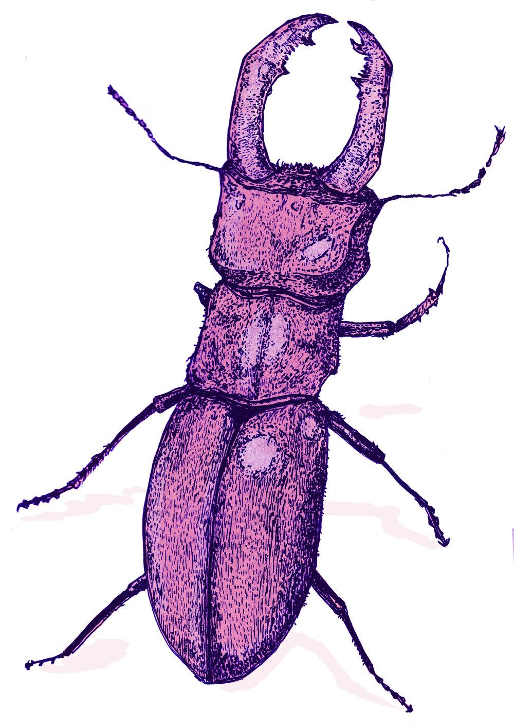 pink beetle.jpg