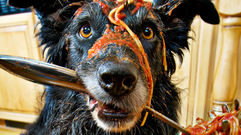 Border Collie with Spaghetti on head