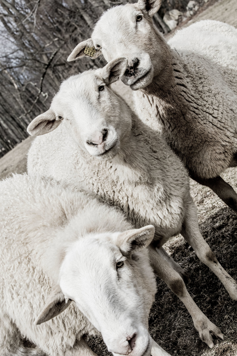 Three white sheep