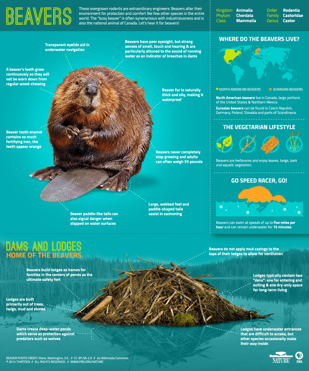 Beavers_Infographic-Final1.jpg