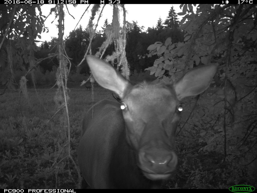 Elk, Rock Creek ESC Wildlife Cam