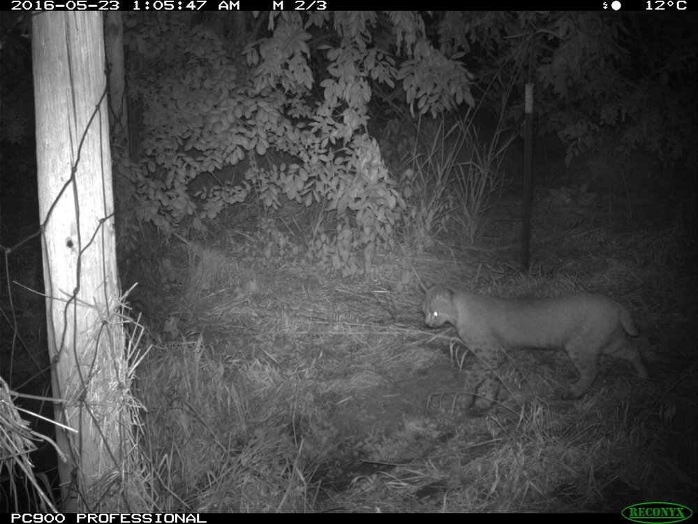 Bobcat, Rock Creek ESC Wildlife Cam