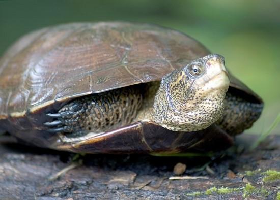 Western pond turtle (photo: Oregon Dept. of Fish & Wildlife)