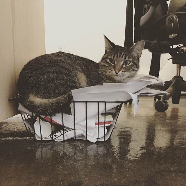 Some very important filing. . . . . . #officecat #botwinoffice #odette