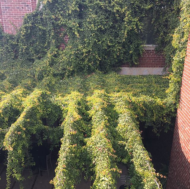Ivy over the courtyard at the Arthel Building. . . . . . #arthelbuilding #courtyard #crossroadskc #kcmo