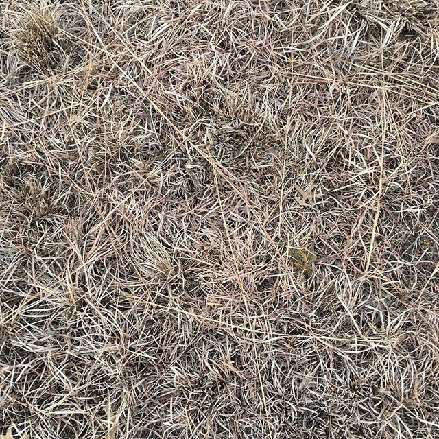 Winter rooftop grass. . . . . . #waldokc #plantedroof
