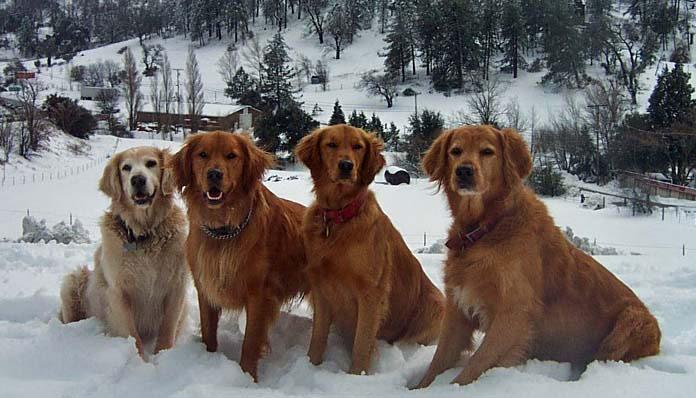 snow-goldens.jpg