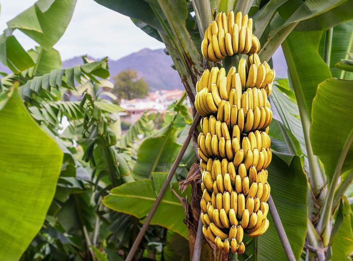 Banana Crop Thailand