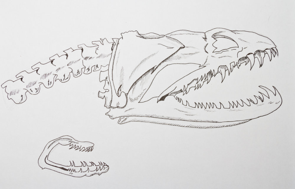 Moray Eel Skull and Second Jaw Drawing