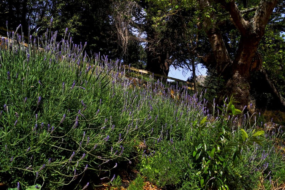 Lavender & Trees.jpeg