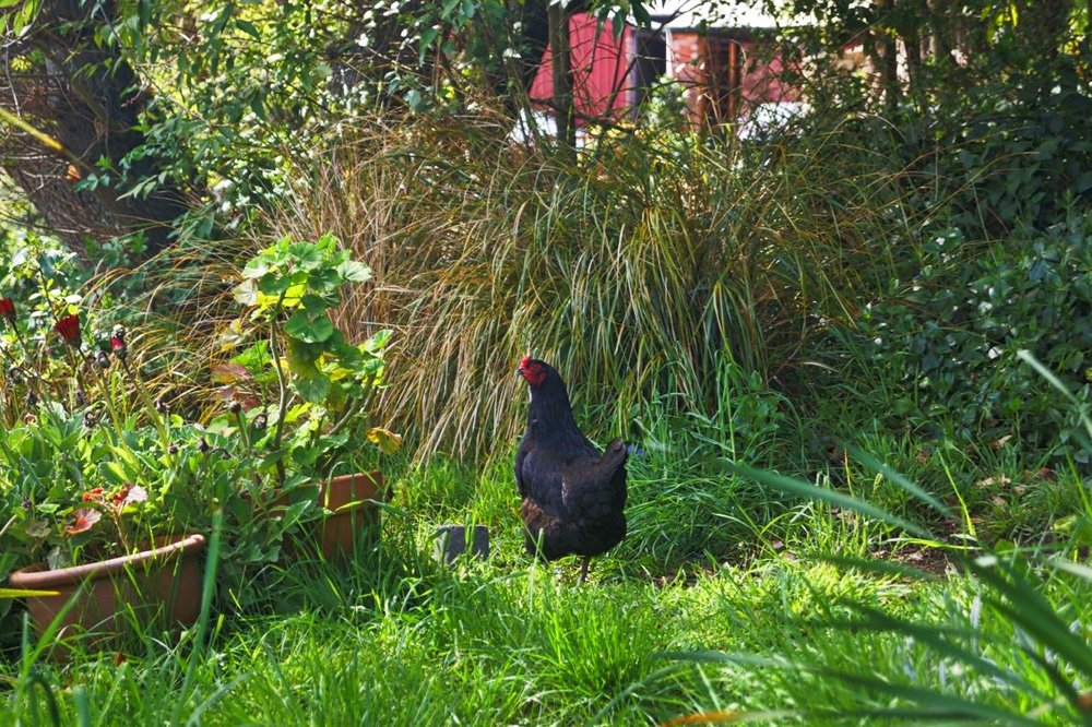 Black Chook.jpeg