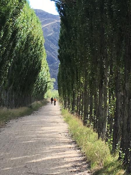 Poplar grove on the Alpine to Ocean