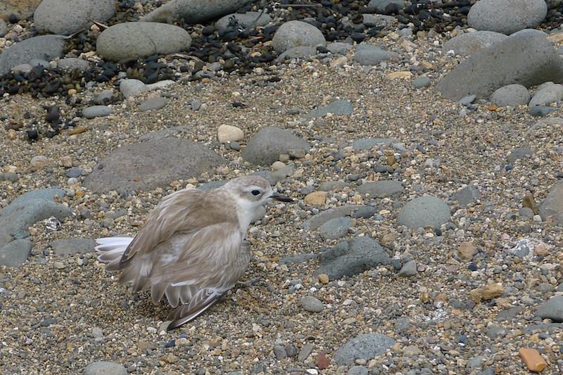 Oh! I have broken my wing and I am easy prey...Coromandel – Lynch Stream Bay – shore dotterel