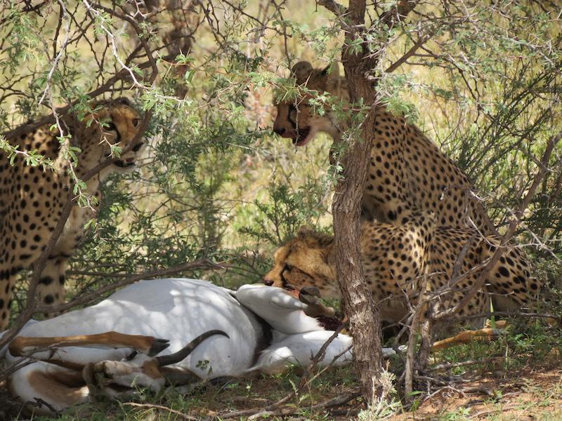 Dinner time in the Kalahari