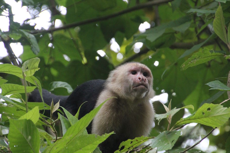 Whitefaced Monkey Panama City