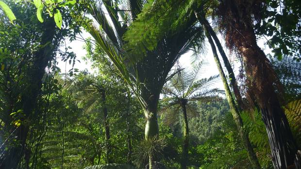 Upper waitotara valley forest is lush with nikau palms.