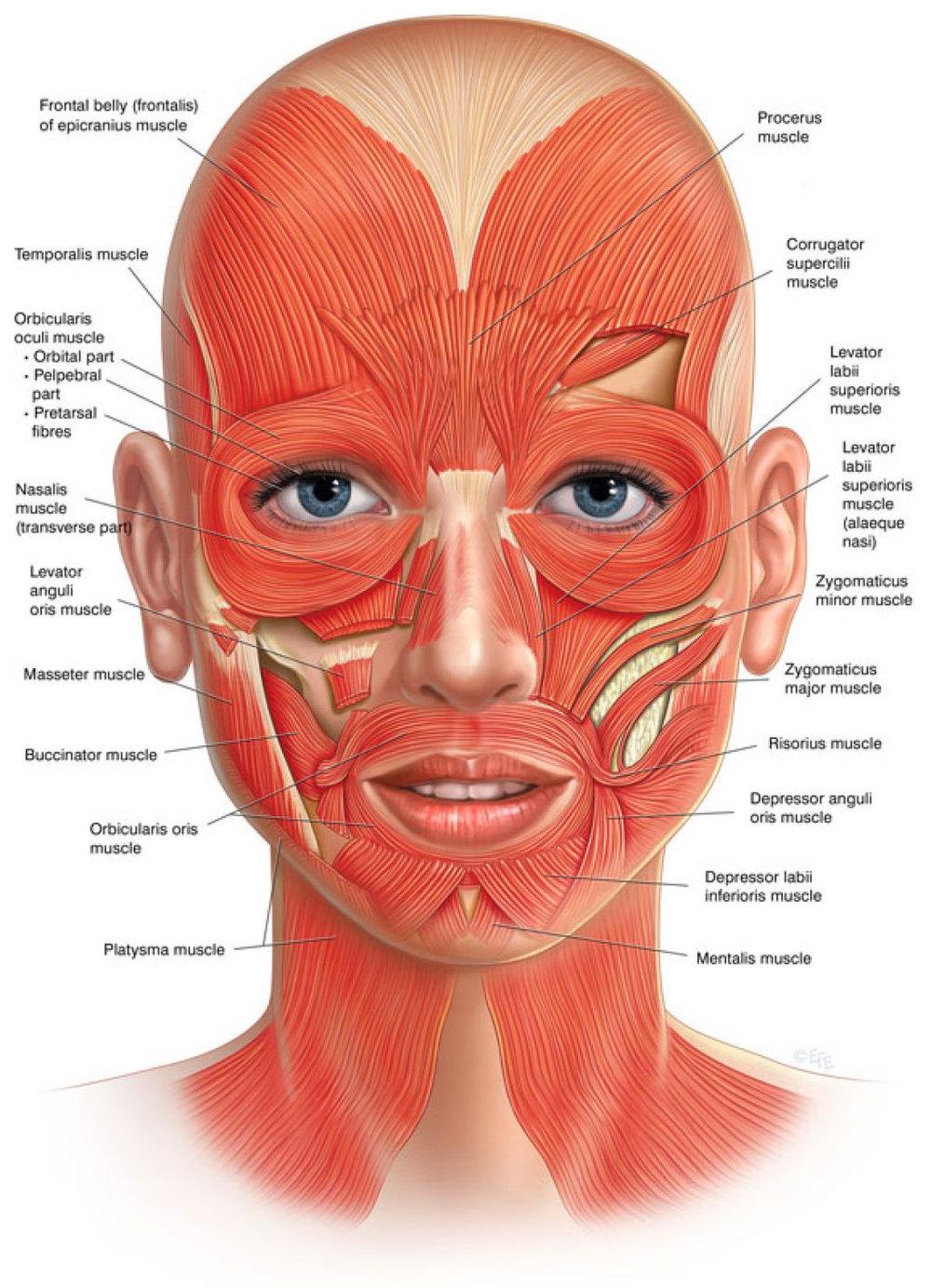 anatomy-diagram-muscles-face-anatomy-facial-muscles-diagram-anatomy-diagram-pics.jpg