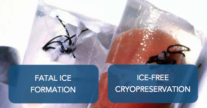Cryopreserving Organs: a Tale of Two Kidneys:   Fatal ice formation (left) and Ice-free cryopreservation (right)