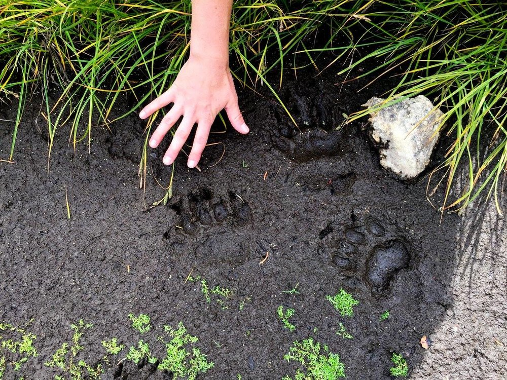 Black bear tracks.