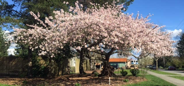 "The ""Granddaddy"" Cherry Tree in full spring bloom at the Dakota substation."