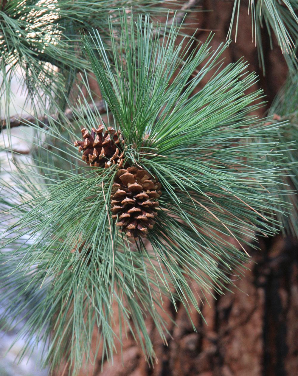 Ponderosa_Pine_Pinus_ponderosa_needles_cones.jpg