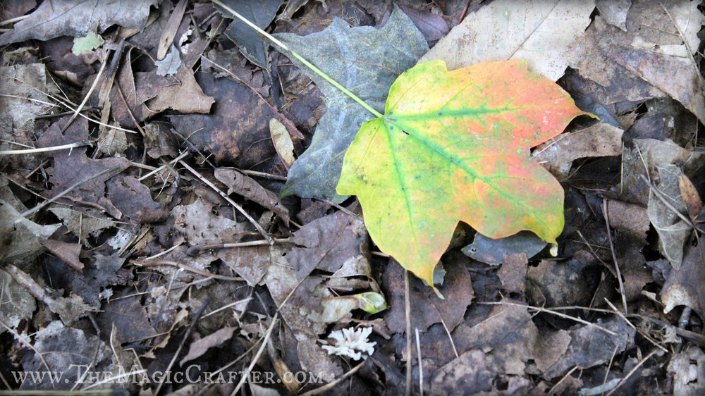 Okay, so there were certainly some beautiful leaves to be found in addition to the pretty mushrooms. I really liked how this one had such a variety of colors. Is this what happens when Rainbows hit the ground in the Fall time?