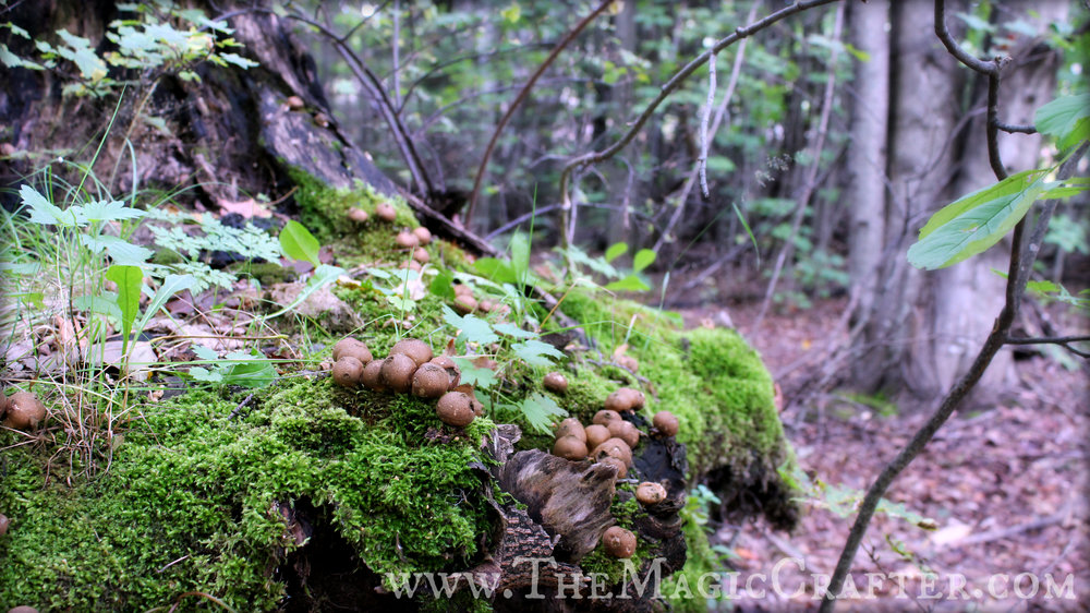 At the entrance of the hiking trail, there were these brilliant old moss-and-fungus covered tree stumps that looked like they were from a fairytale land. With the way they looked, I was half expecting a little fairy to pop out at any moment to welcome me into the enchanted forest! The mushrooms seen here were the first of many to be found while on this adventure.