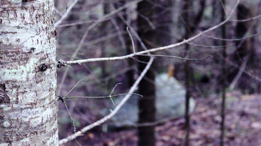 The bark of a pine tree in the forest. This picture is clear in the foreground and blurry in the background. It is tinted with purple.