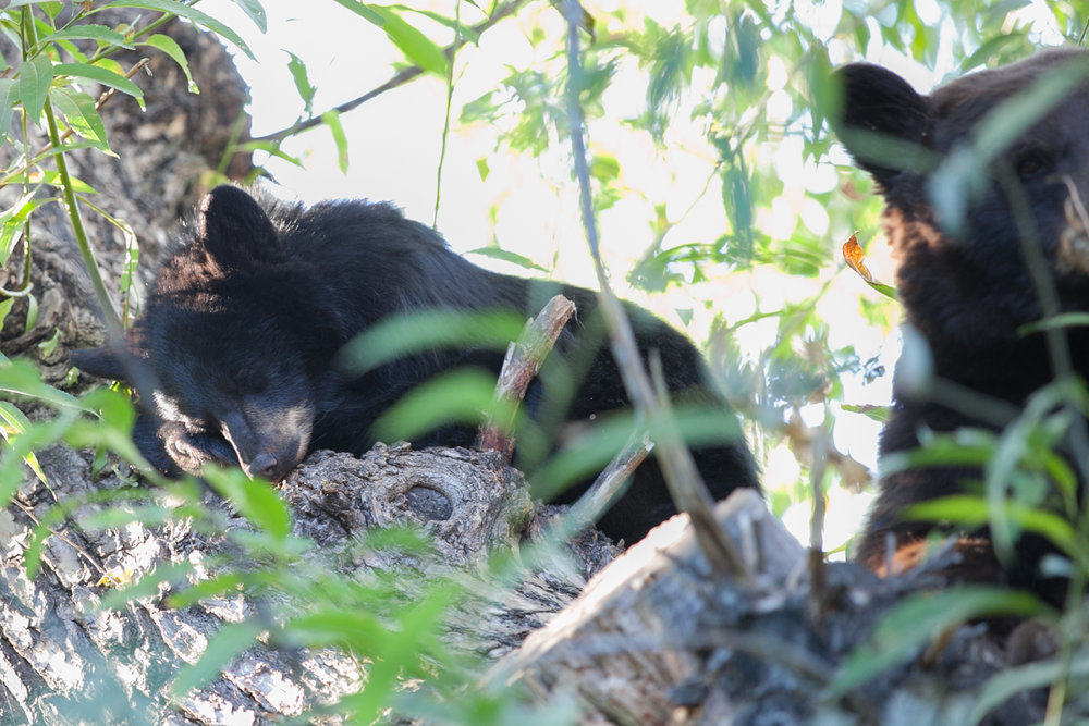 Black cub sleeping next to its mother
